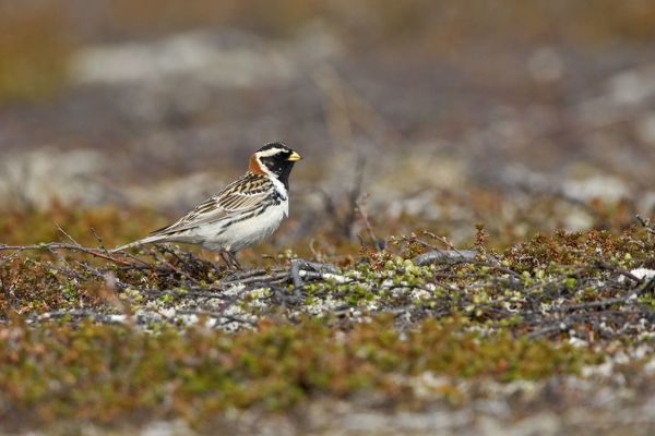 CK-4478 Lapland Bunting / Longspur - Male in Summer Plumage on Tundra  July - Varanger Fjord - Norway. Calcarius lapponicus Chris Knights Please note that prints are for personal display purposes only and may not be reproduced in any way