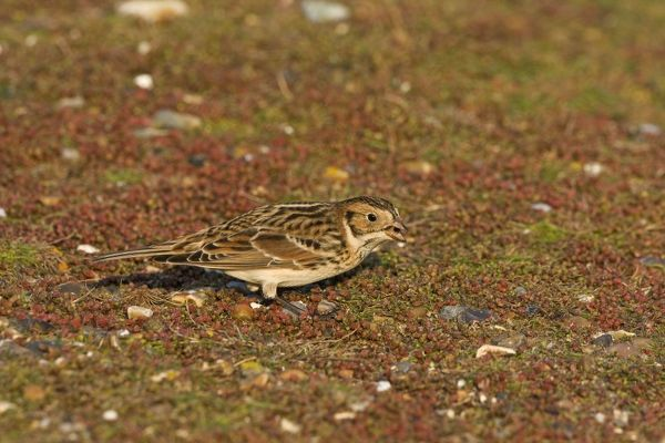 CK-4479 Lapland Bunting / Longspur - Winter plumage - feeding December - North Norfolk - UK Calcarius lapponicus Chris Knights Please note that prints are for personal display purposes only and may not be reproduced in any way