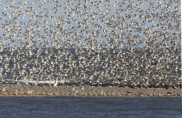 CK-4498 Knot - Packed on sand bar with Oystercatchers with more Knot flying in September - North Norfolk UK Calidris canutus Chris Knights Please note that prints are for personal display purposes only and may not be reproduced in any way