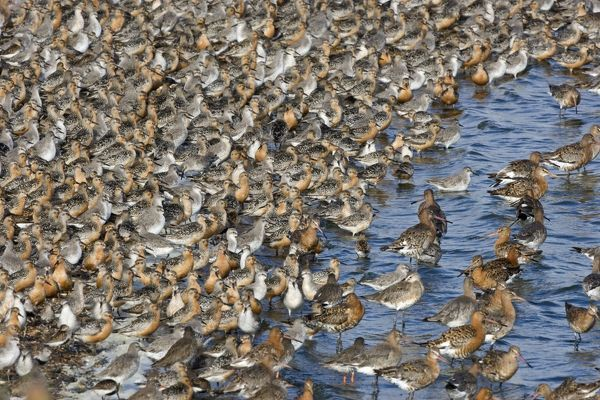 CK-4502 Knot - Tight flock with Black-tailed Godwits September - Snettisham - Norfolk - UK Calidris canutus Chris Knights Please note that prints are for personal display purposes only and may not be reproduced in any way