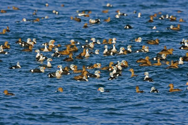 CK-4516 King Eider - Mass flock swimming out to sea - male and female  March - Varanger Fjord - Norway. Somateria spectabilis Chris Knights Please note that prints are for personal display purposes only and may not be reproduced in any way