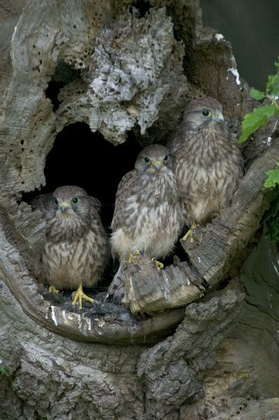 CK-4525 Kestrel - Large chicks perched around the nest hole  July - Breckland - Norfolk - UK Falco tinnunculus Chris Knights Please note that prints are for personal display purposes only and may not be reproduced in any way