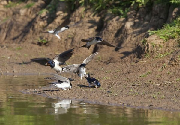 CK-4529 House Martin - Collecting mud for nest building together with a Swallow May - Breckland - Norfolk - UK Delichon urbica Chris Knights Please note that prints are for personal display purposes only and may not be reproduced in any way
