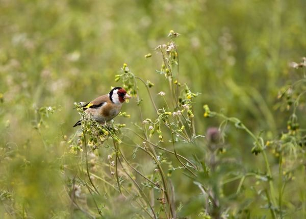 CK-4544 Goldfinch - feeding on Groundsel in uncultivated field May - Breckland - Noroflk - UK Carduelis carduelis Chris Knights Please note that prints are for personal display purposes only and may not be reproduced in any way