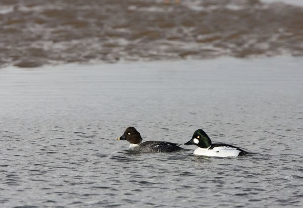 CK-4545 Goldeneye -male and female swimming in shallow water  February - North Norfolk - UK Bucephala clangula Chris Knights Please note that prints are for personal display purposes only and may not be reproduced in any way