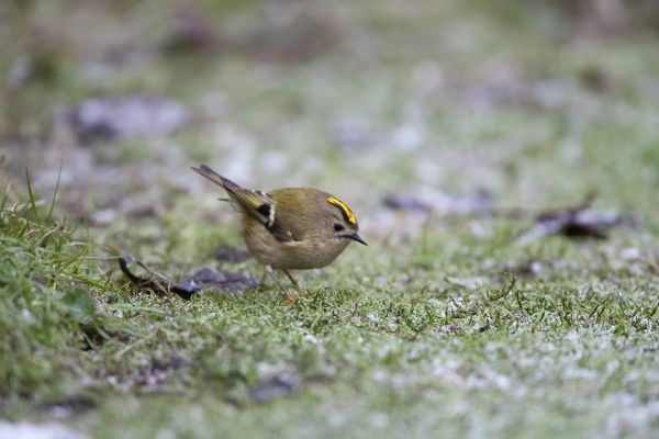 CK-4547 Goldcrest - picking up crumbs from below bird table in a hard frost January - Breckland - Norfolk - UK Regulus regulus Chris Knights Please note that prints are for personal display purposes only and may not be reproduced in any way