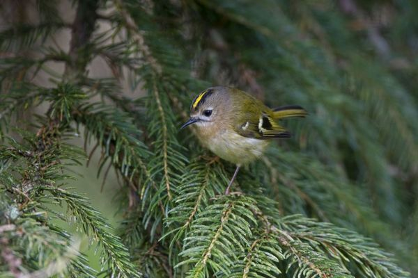 CK-4551 Goldcrest - perched in Norway Spruce early April Breckland - Norfolk - UK. Regulus regulus Chris Knights Please note that prints are for personal display purposes only and may not be reproduced in any way