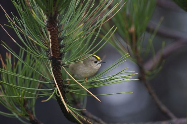 CK-4553 Goldcrest - on the North Norfolk coast perched in Scots Pine early morning November - North Norfolk - U.K. Regulus regulus Chris Knights Please note that prints are for personal display purposes only and may not be reproduced in any way
