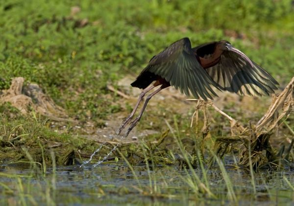 CK-4556 Glossy Ibis - taking off from waters edge June, Danube Delta, Romania Plegadis falcinellus  Chris Knights Please note that prints are for personal display purposes only and may not be reproduced in any way