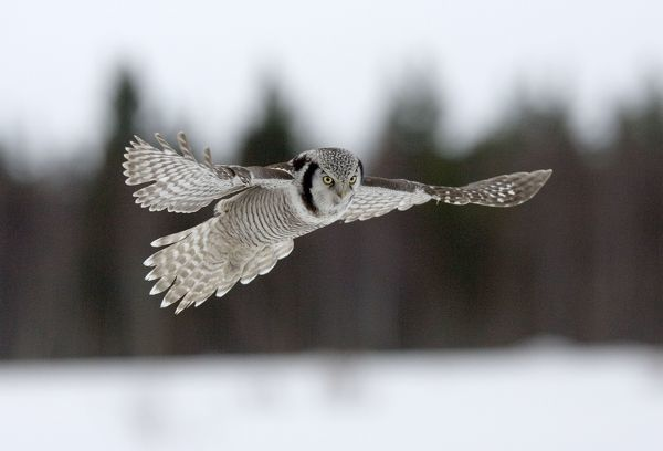 CK-4567 Hawk Owl - hovering above snow with forest background March - Finland Surnia ulula Chris Knights Please note that prints are for personal display purposes only and may not be reproduced in any way