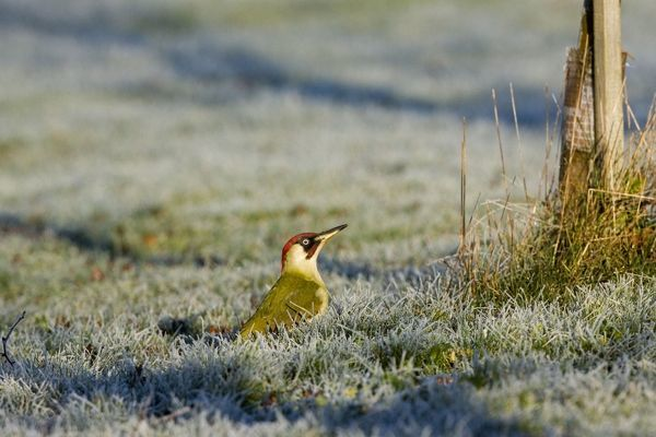 CK-4574 Green Woodpecker - male perched on frost covered grass early morning February. Gooderstone, Norfolk, U.K. Picus viridis Chris Knights Please note that prints are for personal display purposes only and may not be reproduced in any way