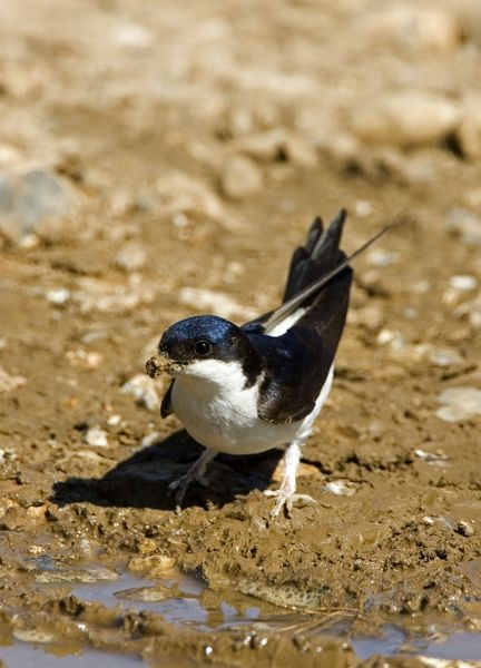 CK-4578 House Martin - Collecting mud for nest building May, Breckland, Norfolk, U.K. Delichon urbica Chris Knights Please note that prints are for personal display purposes only and may not be reproduced in any way