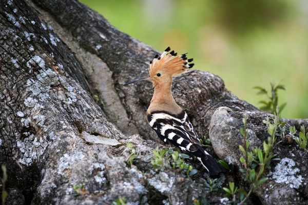 CK-4579 Hoopoe - Standing at entrance to nest site April - Trusillo - Spain. Upupa epops Chris Knights Please note that prints are for personal display purposes only and may not be reproduced in any way