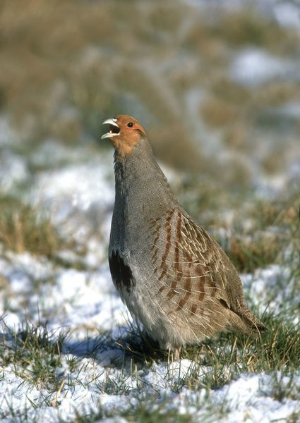 CK-4597 Grey Partridge - male calling on frost and snow covered grass Februay. Gooderstone, Norfolk. U.K. Perdix perdix Chris Knights Please note that prints are for personal display purposes only and may not be reproduced in any way