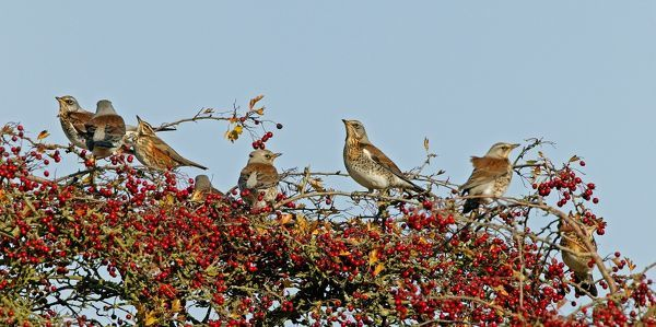 CK-4605 Fieldfare & Redwing (Turdus iliacus) - perched on Hawthorn bush October Breckland Norfolk UK Turdus pilaris  Chris Knights Please note that prints are for personal display purposes only and may not be reproduced in any way