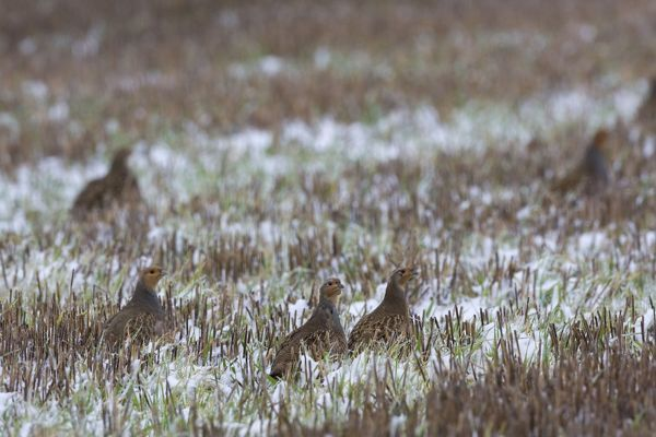 CK-4612 Grey Partridge - in snow covered winter stubble field November. Narborough, Norfolk, U.K. Perdix perdix Chris Knights Please note that prints are for personal display purposes only and may not be reproduced in any way