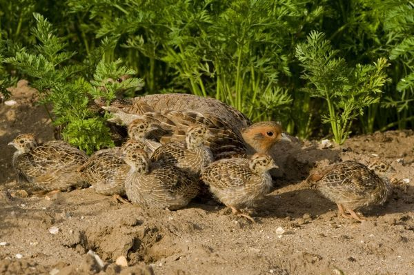 CK-4614 Grey Partridge - close up of family party in carrot field, male and chicks with female hiding behind, June Gooderstone, Norfolk, U