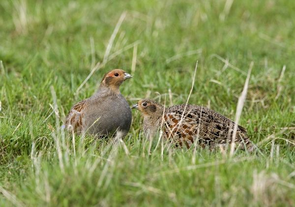 CK-4616 Grey Partridge - male and Female crouching on rough grassland, May Gooderstone, Norfolk, U.K. Perdix perdix Chris Knights Please note that prints are for personal display purposes only and may not be reproduced in any way