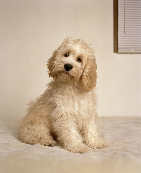 cockapoo dog crossbreed between a cocker spaniel a poodle del