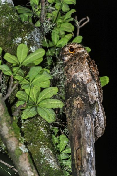 Common Potoo / Grey Potoo / Lesser Potoo, Cali, Colombia