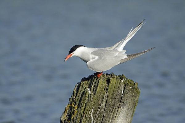 USH-4266 Common Tern, - calling from post and courtship displaying Island of Texel, Holland Sterna hirundo Duncan Usher Please note that prints are for personal display purposes only and may not be reproduced in anyway