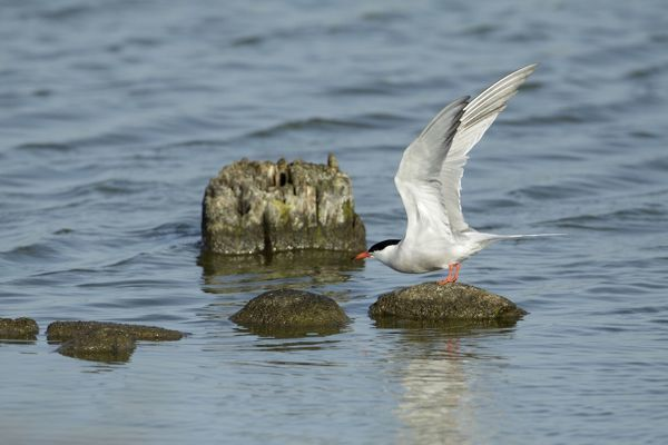 USH-4265 Common Tern, - about to take off from stones in sea Island of Texel, Holland Sterna hirundo Duncan Usher Please note that prints are for personal display purposes only and may not be reproduced in anyway