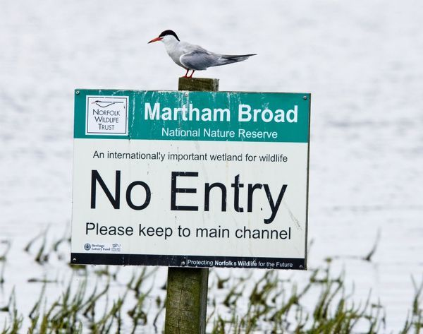 "ROG-13712 Common Tern - sitting on Nature Reserve ""No Entry"" sign Martham Broad, Norfolk, UK Sterna hirundo Bob Gibbons Please note that prints are for personal display purposes only and may not be reproduced in any way"