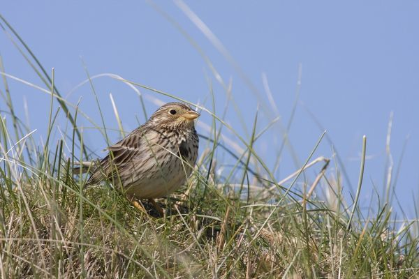 DK-183 Corn Bunting - single adult sitting on a grassy mound Western Isles, Scotland, UK Miliaria calandra David Kilbey Please note that prints are for personal display purposes only and may not be reproduced in any way