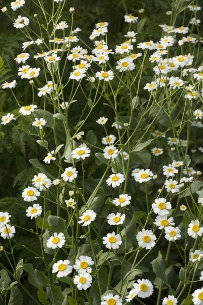 ROG-12478 Costmary / Alecost  An old culinary and medicinal herb. Garden. Tanacetum balsamita Bob Gibbons Please note that prints are for personal display purposes only and may not be reproduced in any way