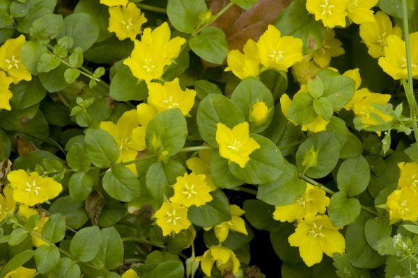 ROG-12501 Creeping jenny; widespread old woodland plant in UK Lysimachia nummularia Bob Gibbons Please note that prints are for personal display purposes only and may not be reproduced in any way