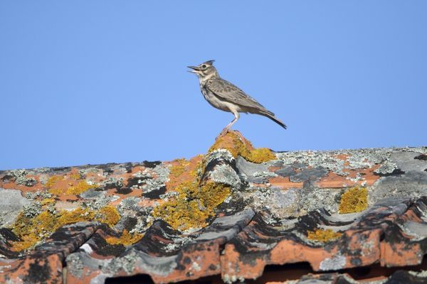 USH-4272 Crested Lark - perched on roof singing Alentejo, Portugal Galerida cristata Duncan Usher Please note that prints are for personal display purposes only and may not be reproduced in anyway