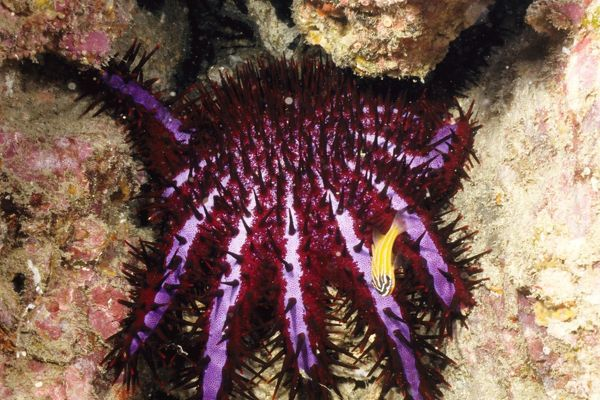 AUS-630 Crown-of-thorns starfish, the distinctive violet stripes south-east Asian colour form Andaman Sea, Thailand Acanthaster planci) Dr David Wachenfeld / Auscape / ardea.com Auscape Please note that prints are for personal display purposes only