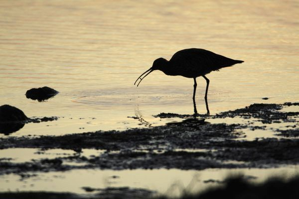 USH-4478 Curlew - feeding on shore at sunset  Island of Texel - Holland Numenius arquata Duncan Usher Please note that prints are for personal display purposes only and may not be reproduced in any way