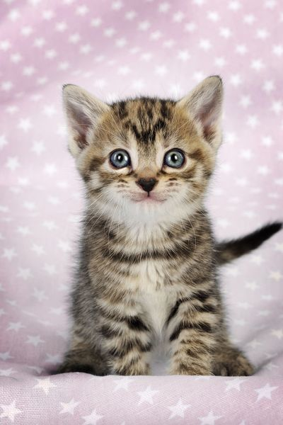 Cat. Tabby Kitten (6 weeks old) smiling on star background