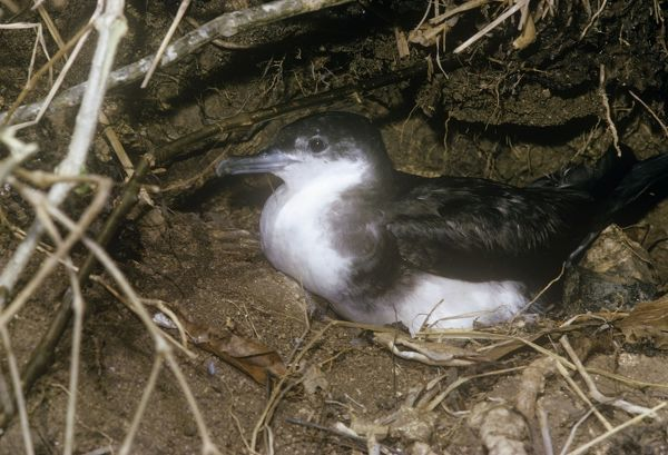DE-3372 Audubon's Shearwater - on nest Puffinus lherminieri M. D. England Please note that prints are for personal display purposes only and may not be reproduced in any way