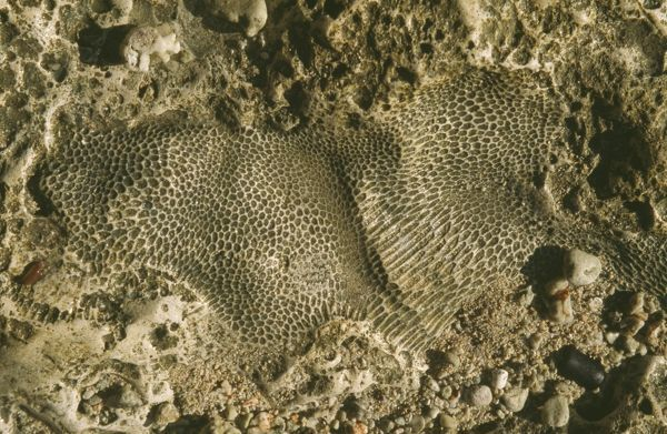 DH-2808 Fossil colonial coral embedded in marine limestone occuring as an uplifted reef complex  Buka Islands - North Solomon Islands - Papa New Guinea Don Hadden Please note that prints are for personal display purposes only and may not be