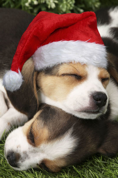 Dog, Beagle puppies asleep, one wearing Christmas hat Digital manipulation Date