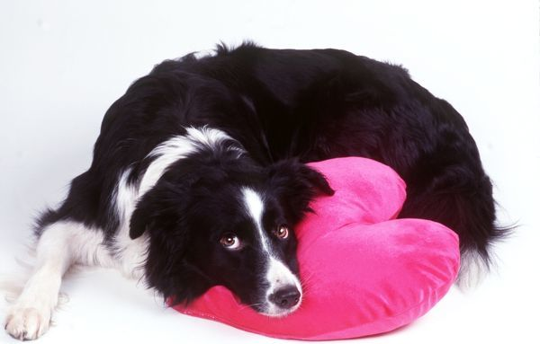 DOG - Border Collie looking sad with head on heart cushion