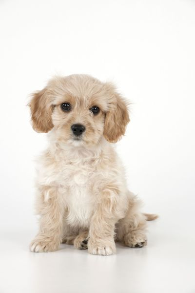 Dog - Cavachon (Cavalier x Bichon Frise) 10 week old puppy Date