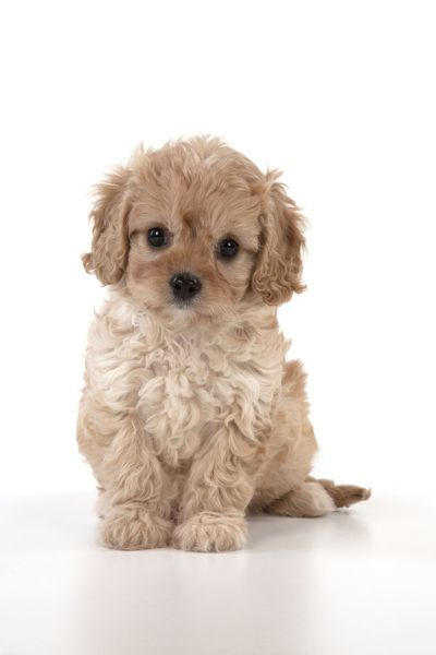 Dog Cavapoo puppy ( 7 wks old ) on white background Date