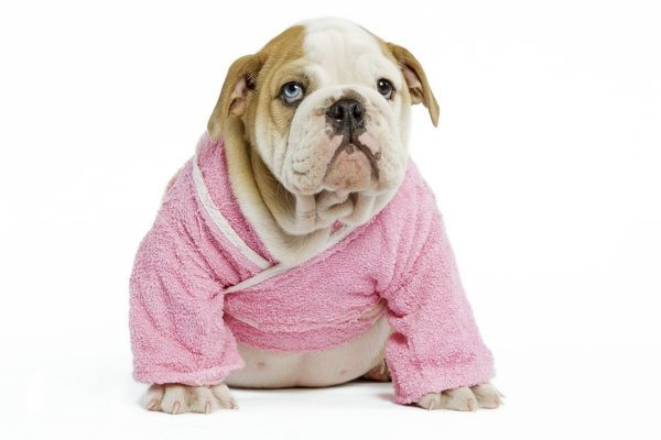 Dog - English Bulldog - puppy dressed up in pink dressing gown in ...