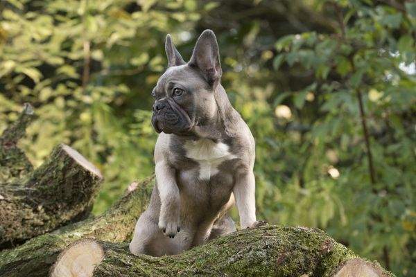 DOG. French Bulldog on logs in autumn