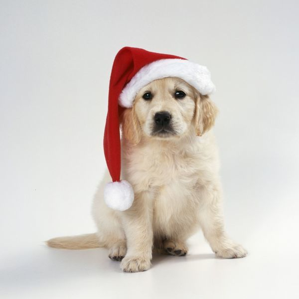 JD-17122e DOG - Golden Retriever puppy wearing Christmas hat John Daniels Please note that prints are for personal display purposes only and may not be reproduced in any way
