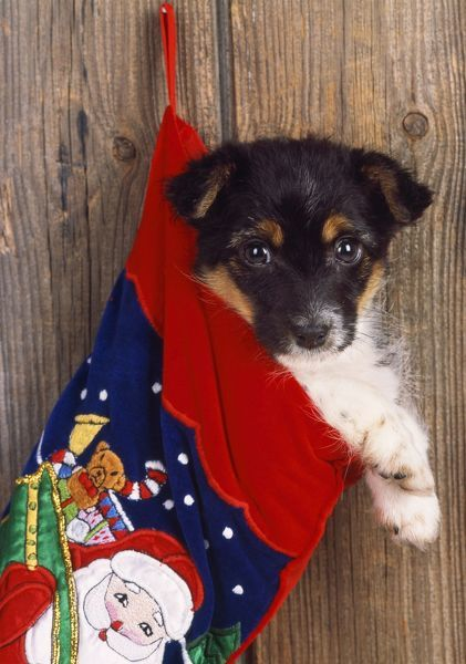 JD-18472 DOG - Jack Russell Terrier cross puppy in Christmas stocking John Daniels Please note that prints are for personal display purposes only and may not be reproduced in any way