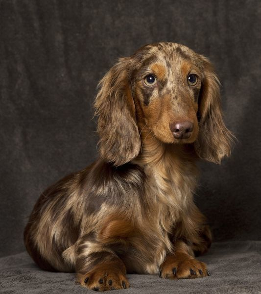 Dog Long Haired Dachshund Puppy Date