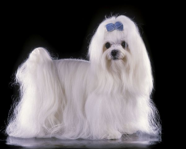 LA-1374 Dog - Maltese / Bichon Maltaise - With blue ribbon Formerly called Maltese Terrier Jean Michel Labat Please note that prints are for personal display purposes only and may not be reproduced in any way
