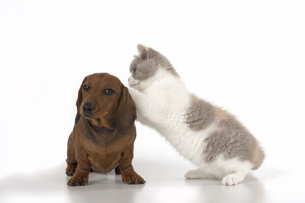 DOG. Miniature Dachshund with British shothair cat