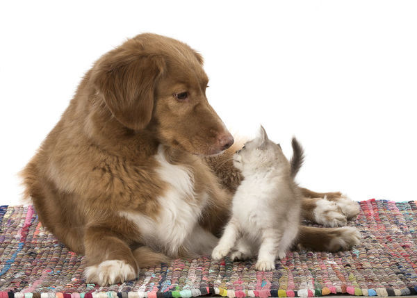 DOG. Nova Scotia Duck Tolling Retriever with Tiffanie kitten ( Choc silver ) Date