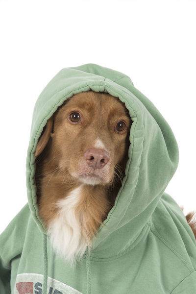 DOG. Nova Scotia Duck Tolling Retriever wearing a Hoodie Date