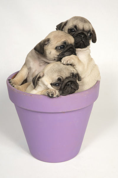 Dog Pug Puppies 8 Weeks Old In A Flower Pot Date